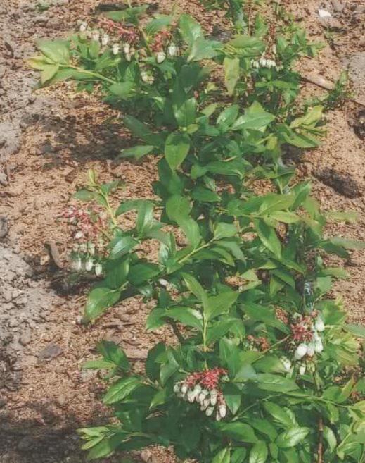 borovnica-belanovica
