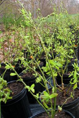 sadnice-borovnice